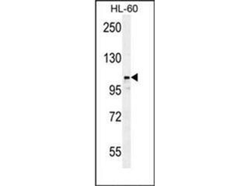 Western Blotting (WB) image for anti-Leucyl/cystinyl Aminopeptidase (LNPEP) (AA 16-46), (N-Term) antibody (ABIN953199)