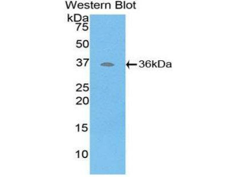 Western Blotting (WB) image for anti-ATPase, H+ Transporting, Lysosomal Accessory Protein 2 (ATP6AP2) (AA 17-302) antibody (ABIN1858099)