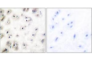 Image no. 2 for anti-Islet Amyloid Polypeptide (IAPP) (AA 1-50) antibody (ABIN1533209)
