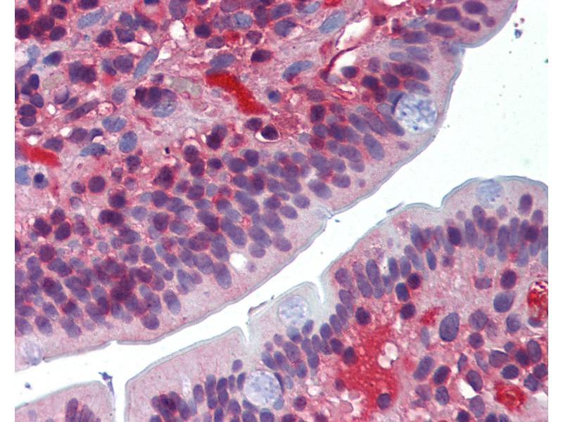 Image no. 3 for anti-DNA-Damage-Inducible Transcript 3 (DDIT3) antibody (ABIN462338)