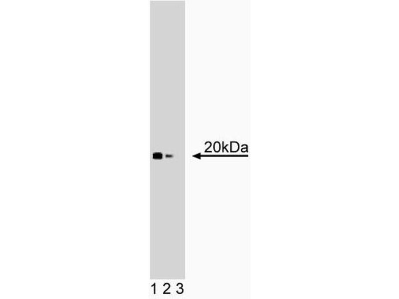 Western Blotting (WB) image for anti-Dual Specificity Phosphatase 3 (DUSP3) (AA 1-185) antibody (ABIN968030)