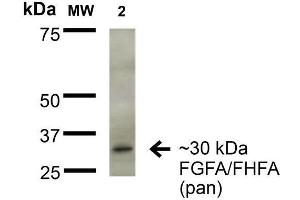 Image no. 2 for anti-Fibroblast Growth Factor 13 (FGF13) (AA 2-18) antibody (FITC) (ABIN1741083)