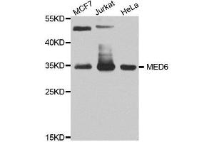 Image no. 1 for anti-Mediator Complex Subunit 6 (MED6) antibody (ABIN6143708)