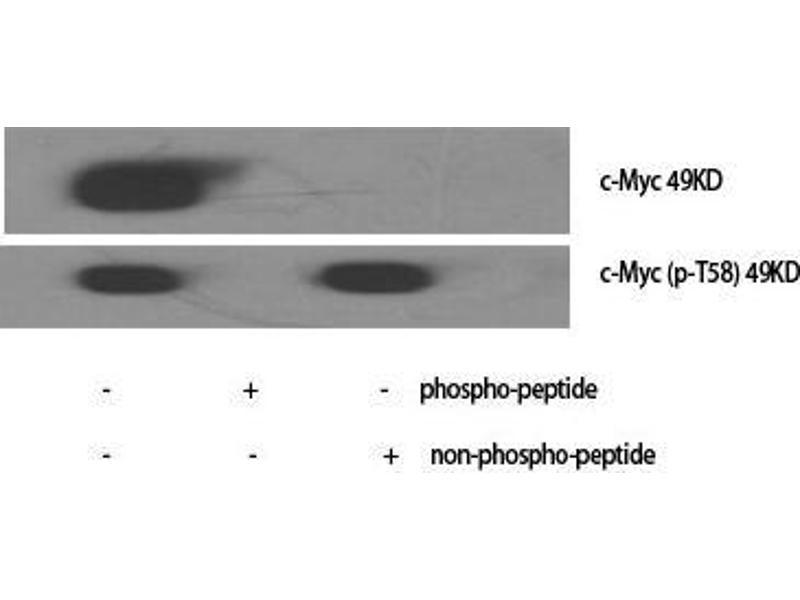 Image no. 2 for anti-Myc Proto-Oncogene protein (MYC) (pThr58) antibody (ABIN3181968)