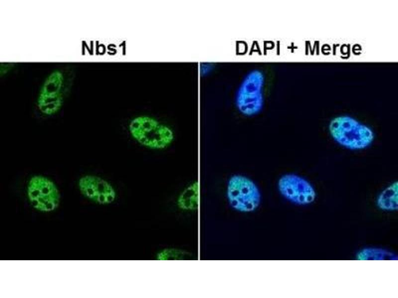 Immunofluorescence (IF) image for anti-NLRP2 antibody (NLR Family, Pyrin Domain Containing 2) (ABIN151077)