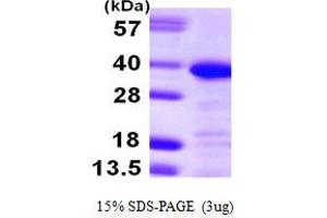 Image no. 1 for Annexin A13 (ANXA13) (AA 1-316) protein (His tag) (ABIN667419)