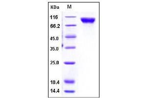 Image no. 1 for Melanoma Cell Adhesion Molecule (MCAM) (AA 1-559), (Extracellular Domain) protein (His tag) (ABIN2002107)