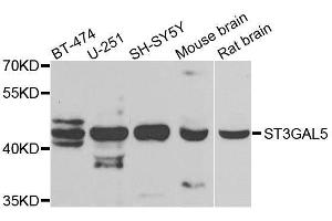 Image no. 1 for anti-ST3 beta-Galactoside alpha-2,3-Sialyltransferase 5 (ST3GAL5) antibody (ABIN6148533)