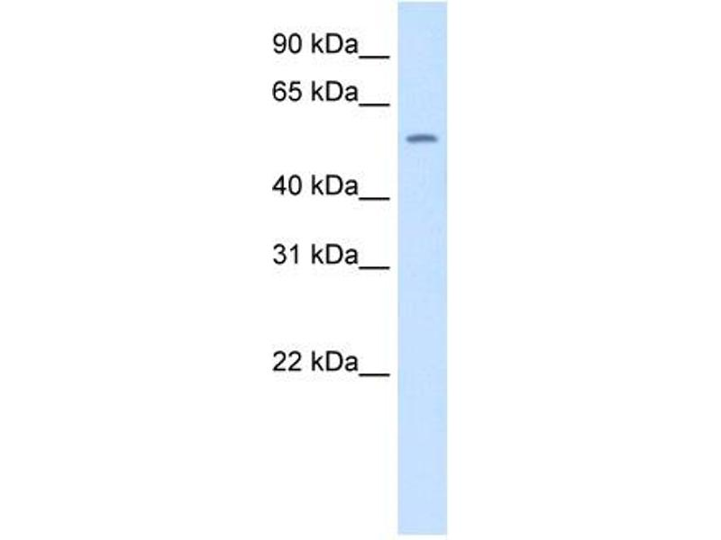 Western Blotting (WB) image for anti-Thyroid Hormone Receptor, beta (THRB) (N-Term) antibody (ABIN2779904)