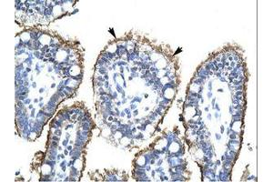 Image no. 1 for anti-Zinc Finger, HIT-Type Containing 6 (ZNHIT6) (AA 300-349) antibody (ABIN202608)