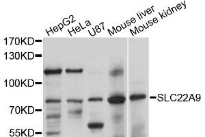 Image no. 1 for anti-Solute Carrier Family 22 (Organic Anion Transporter), Member 9 (SLC22A9) antibody (ABIN4905184)