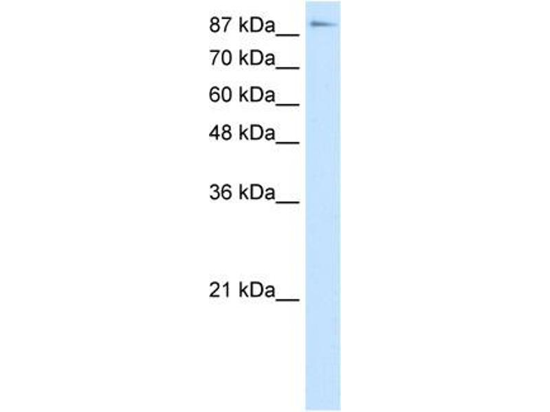 Western Blotting (WB) image for anti-Transcription Elongation Factor B (SIII), Polypeptide 3 (110kDa, Elongin A) (TCEB3) (C-Term) antibody (ABIN184283)