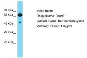 Image no. 1 for anti-FERM Domain Containing 6 (FRMD6) (AA 527-576) antibody (ABIN6750337)