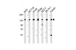 Western Blotting (WB) image for anti-Myosin VI (MYO6) (AA 1166-1195), (C-Term) antibody (ABIN655513)