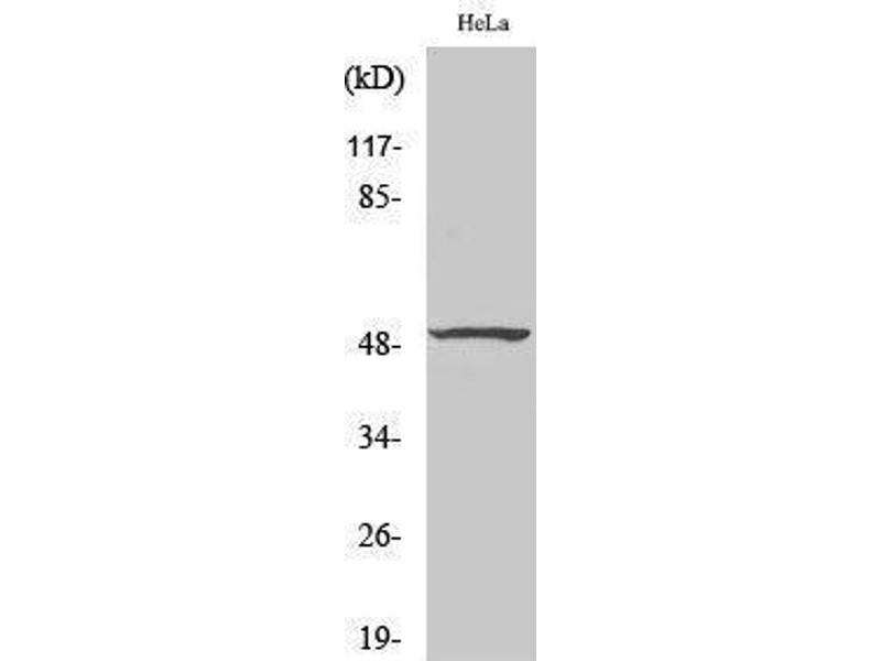 Western Blotting (WB) image for anti-Histone Deacetylase 3 (HDAC3) (C-Term) antibody (ABIN3186997)