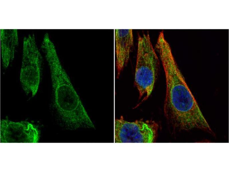 Immunofluorescence (IF) image for anti-BCL2L1 antibody (BCL2-Like 1) (Center) (ABIN2856151)