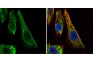 Image no. 2 for anti-BCL2-Like 1 (BCL2L1) (Center) antibody (ABIN2856151)
