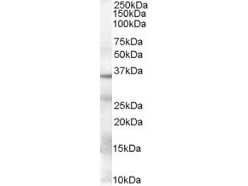 Image no. 1 for anti-GAPDH antibody (Glyceraldehyde-3-Phosphate Dehydrogenase) (Internal Region) (ABIN185543)