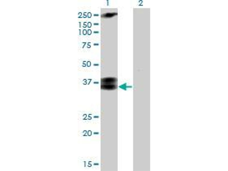 Western Blotting (WB) image for anti-CACNG3 antibody (Calcium Channel, Voltage-Dependent, gamma Subunit 3) (AA 199-298) (ABIN393224)