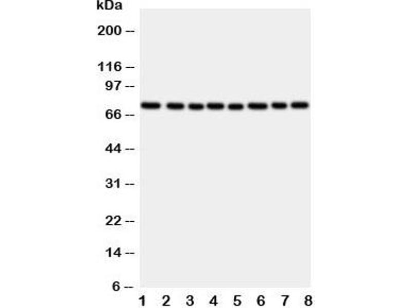 Western Blotting (WB) image for anti-P450 (Cytochrome) Oxidoreductase (POR) (C-Term) antibody (ABIN3032123)