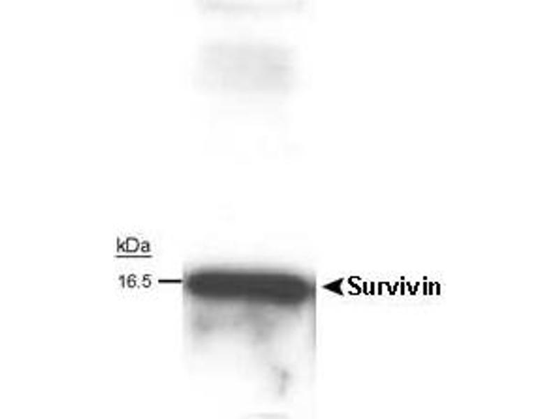 Western Blotting (WB) image for anti-Survivin antibody (BIRC5) (Cytoplasmic Form) (ABIN153011)