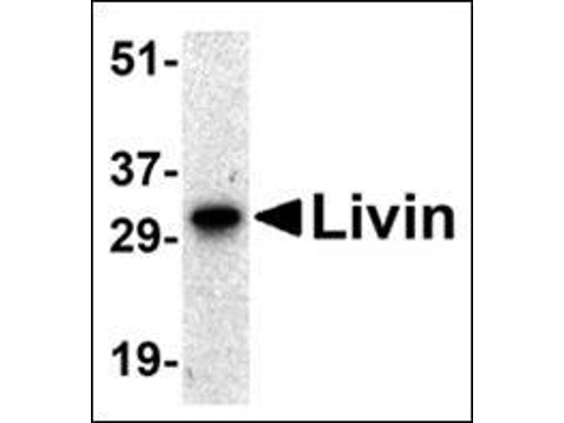 Western Blotting (WB) image for anti-Baculoviral IAP Repeat-Containing 7 (BIRC7) (AA 264-280) antibody (ABIN500182)