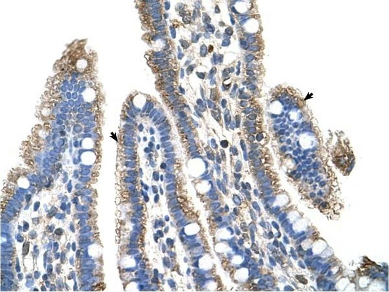 Image no. 1 for anti-Solute Carrier Family 25, Member 39 (SLC25A39) (C-Term) antibody (ABIN635082)