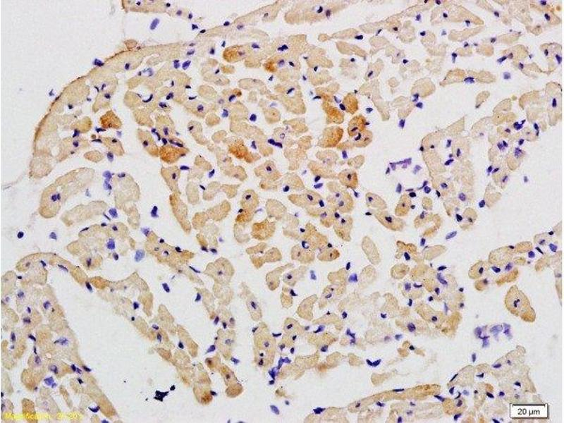 Immunohistochemistry (Paraffin-embedded Sections) (IHC (p)) image for anti-Signal Transducer and Activator of Transcription 2, 113kDa (STAT2) (AA 668-718) antibody (ABIN738246)
