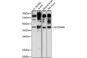 Image no. 1 for anti-Solute Carrier Family 25, Member 44 (SLC25A44) antibody (ABIN6293926)