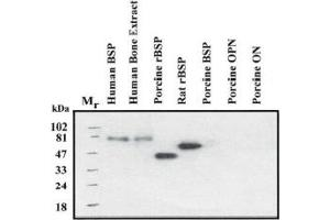 Image no. 1 for anti-Integrin-Binding Sialoprotein (IBSP) (Native Form) antibody (ABIN191977)