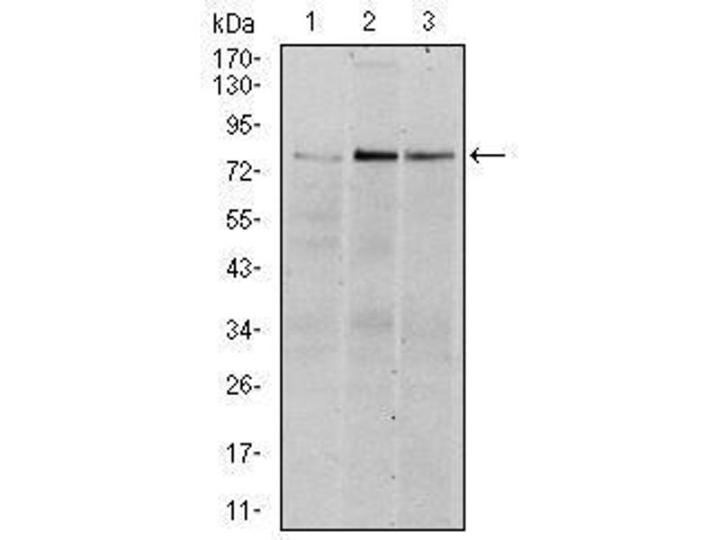 Western Blotting (WB) image for anti-RPS6KA3 antibody (Ribosomal Protein S6 Kinase, 90kDa, Polypeptide 3) (ABIN1108903)