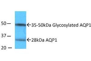 Image no. 1 for anti-Aquaporin 1 (Colton Blood Group) (AQP1) (N-Term) antibody (ABIN863206)