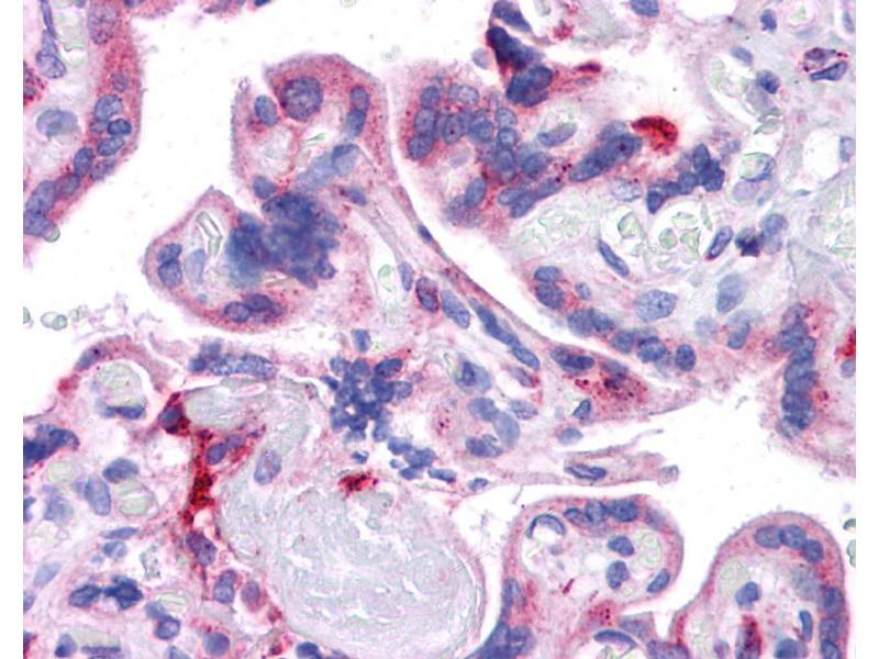 Immunohistochemistry (IHC) image for anti-KIT Ligand antibody (KITLG) (Middle Region) (ABIN2781827)