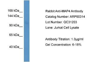 Western Blotting (WB) image for anti-Microtubule-Associated Protein 4 (MAP4) (N-Term) antibody (ABIN2788397)