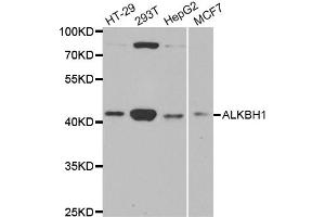 Image no. 1 for anti-AlkB, Alkylation Repair Homolog 1 (E. Coli) (ALKBH) antibody (ABIN6570304)