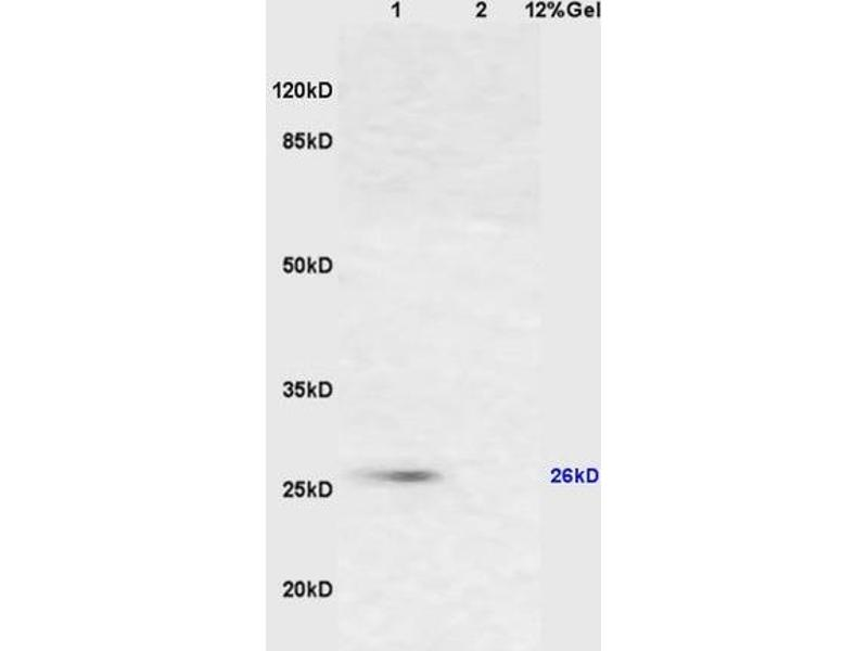 SDS-PAGE (SDS) image for anti-Cytochrome C antibody (Cytochrome C, Somatic) (AA 50-89) (ABIN723590)