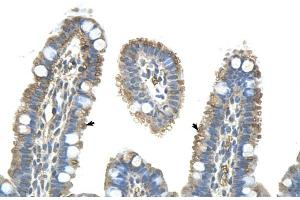 Image no. 8 for anti-Pannexin 1 (PANX1) (Middle Region) antibody (ABIN2775573)