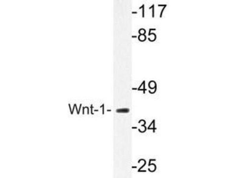 Western Blotting (WB) image for anti-WNT1 antibody (Wingless-Type MMTV Integration Site Family, Member 1) (ABIN408121)