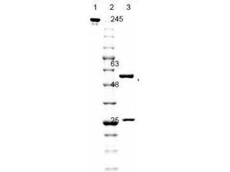 SDS-PAGE (SDS) image for anti-GFP antibody (Green Fluorescent Protein) (ABIN153484)