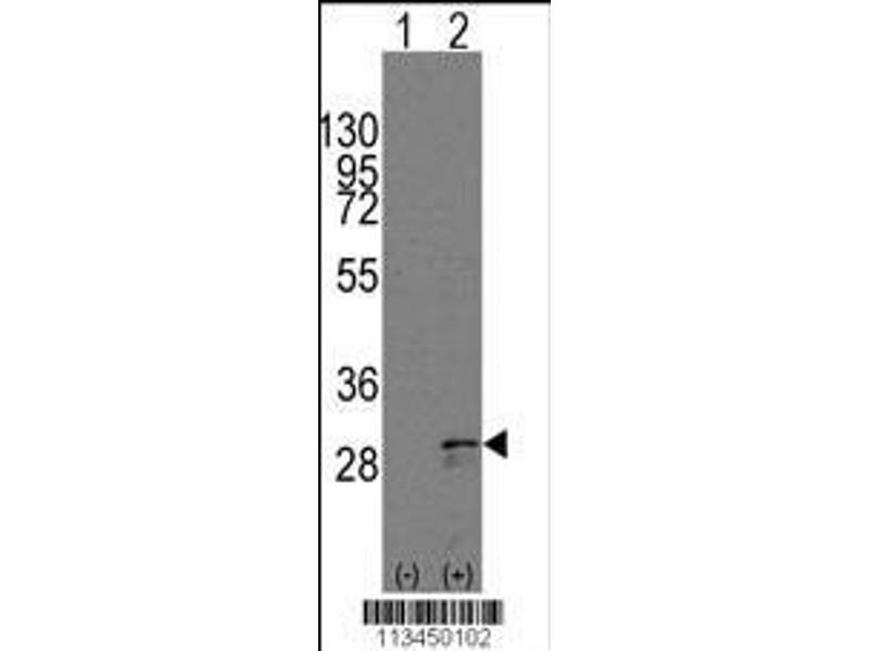 Western Blotting (WB) image for anti-KIT Ligand antibody (KITLG) (AA 244-273) (ABIN388293)