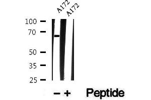 Image no. 2 for anti-ATG14 Autophagy Related 14 (ATG14) (pSer29) antibody (ABIN6256242)