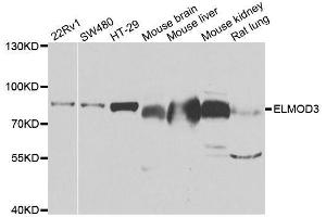 Image no. 1 for anti-Engulfment and Cell Motility 3 (ELMO3) antibody (ABIN6140134)