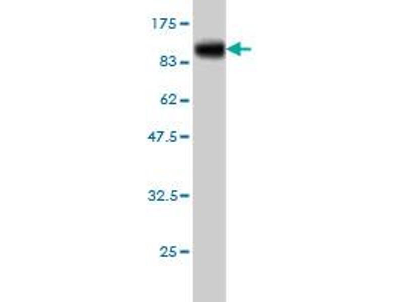 Western Blotting (WB) image for anti-Toll-Like Receptor 10 (TLR10) (AA 1-811) antibody (ABIN395264)