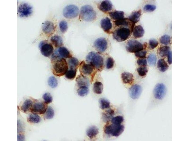 Immunocytochemistry (ICC) image for anti-Annexin A5 (ANXA5) (AA 88-102) antibody (ABIN3029974)