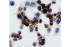 Immunocytochemistry (ICC) image for anti-Annexin V antibody (Annexin A5) (AA 88-102) (ABIN3029974)