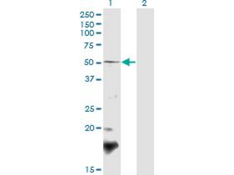Image no. 1 for anti-Berardinelli-Seip Congenital Lipodystrophy 2 (Seipin) (BSCL2) (AA 263-354) antibody (ABIN1327730)