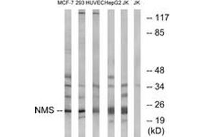 Image no. 1 for anti-Neuromedin S (NMS) (AA 104-153) antibody (ABIN1535097)