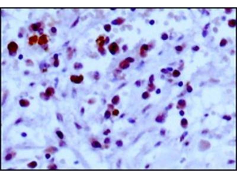 Immunohistochemistry (Paraffin-embedded Sections) (IHC (p)) image for anti-EGLN3 antibody (Egl Nine Homolog 3 (C. Elegans)) (ABIN250181)