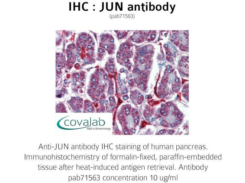 image for anti-Jun Proto-Oncogene (JUN) antibody (ABIN1736137)