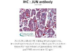 image for anti-Jun Proto-Oncogene (JUN) antibody (ABIN1736137)